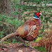 Pheasant_P4040569