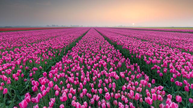 Tulip Seasons 2018