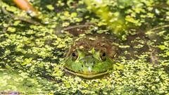 Bullfrog (20180721-DSC01999)