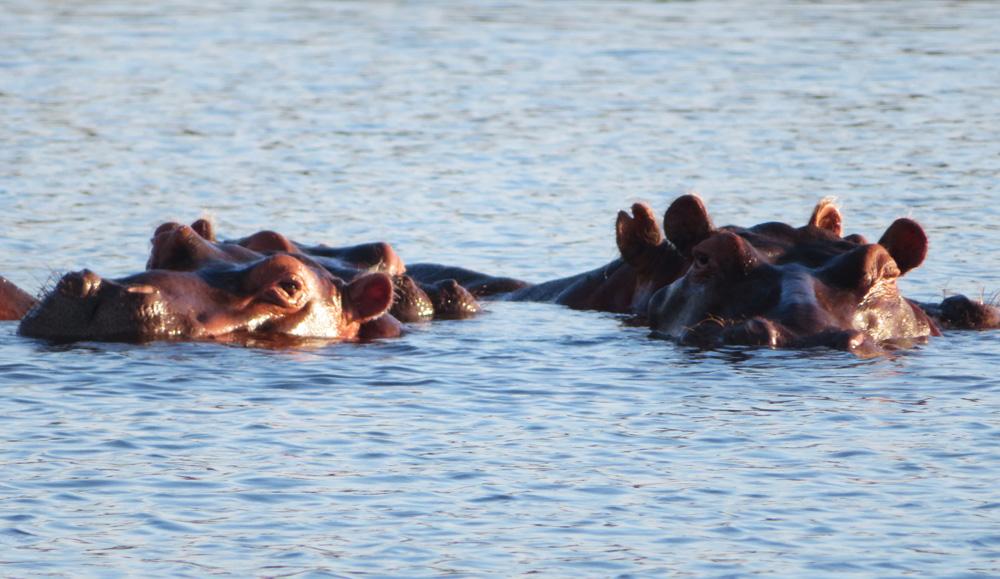hippos-africa