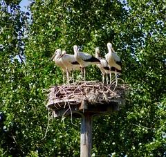 Vondelpark Amsterdam. Storks. Ooievaars.