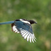 Black Billed Magpie by RayLotier