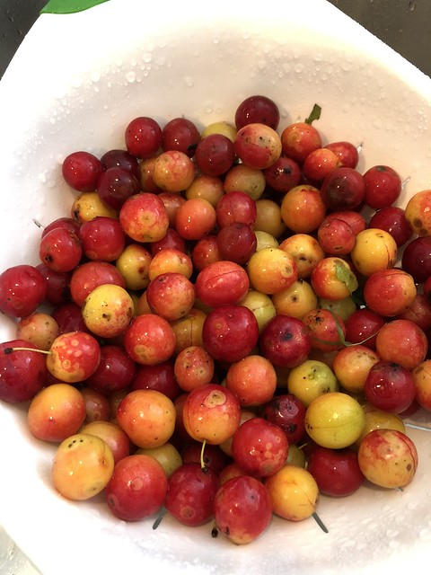 Wild Plums of SW Ohio
