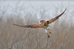 Nankeen Kestrel ( on to the next perch)