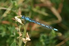 Holdercommon blue damselfly