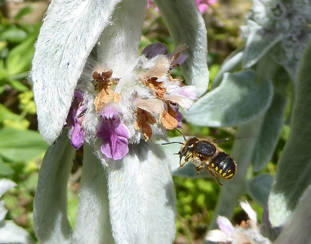 Male wool carder bee in flight