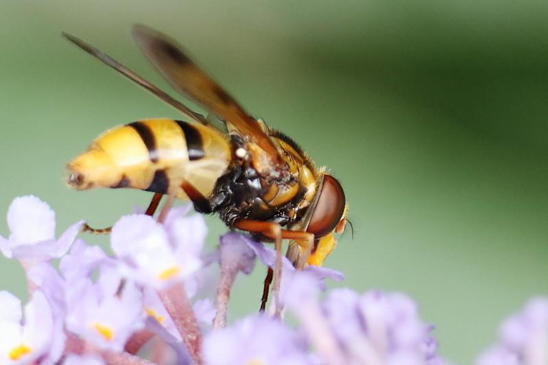 Hornet Hoverfly