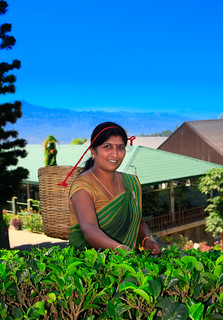 Tea plucking Nuwara Eliya Sri Lanka