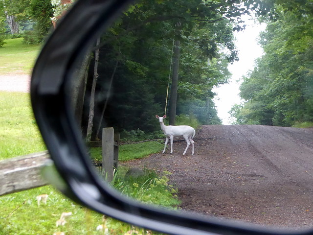 An albino deer in, Panasonic DMC-ZS50