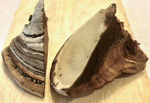 Mushroom - Tinder Fungus Hoof