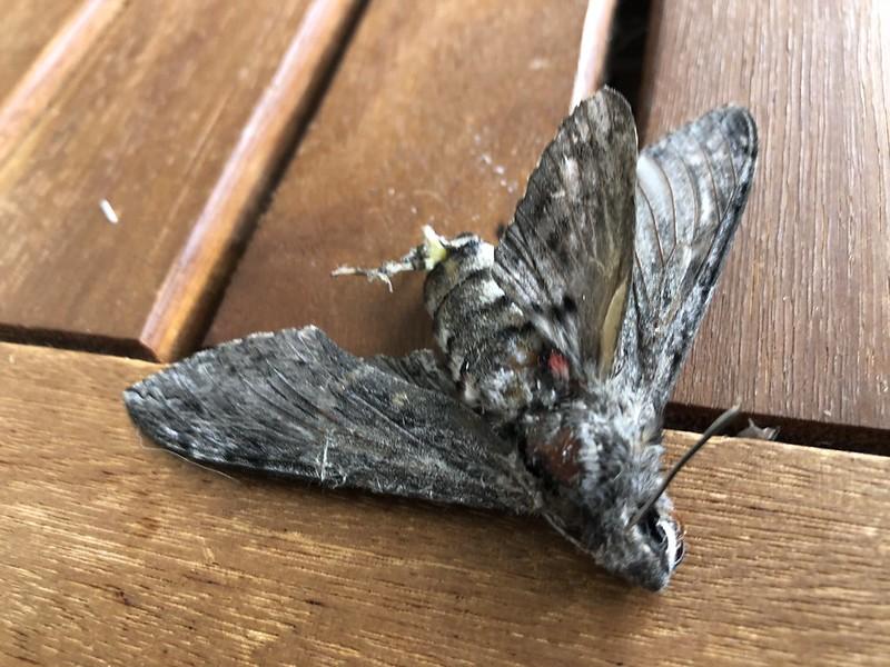 Pine Hawk Moth - dead