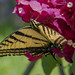eastern tiger swallow tail butterfly por ikarusmedia