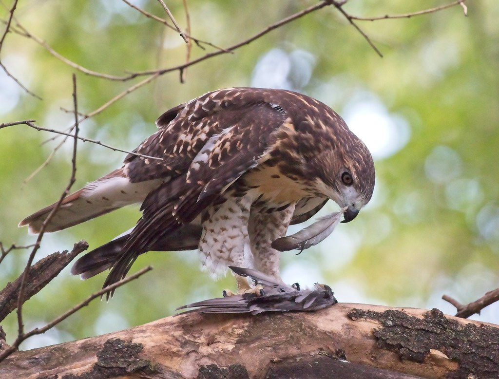 Tompkins Square fledgling red-tail with a feather