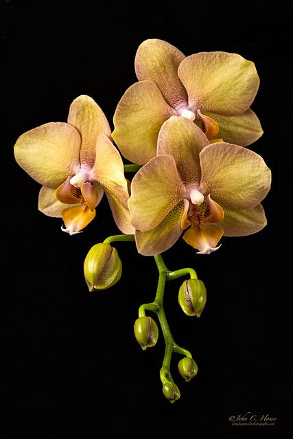 Phalaenopsis Study