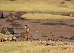Mountain hare on Mull