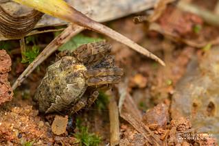 Tent web spider (Cyrtophora cf. citricola) - DSC_6883