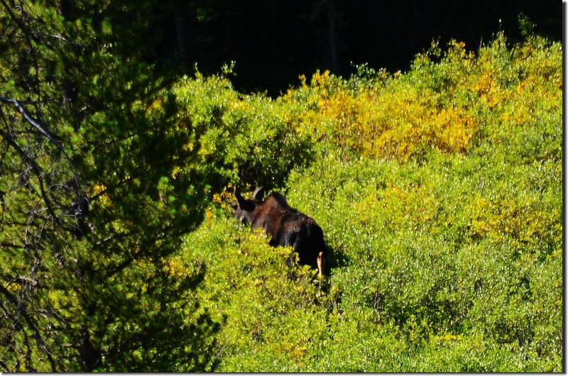 Moose at Indian Peaks Wilderness  1
