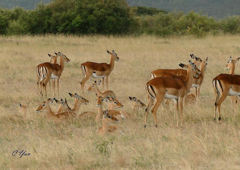 Kenya- Tanzania (Animal 2)