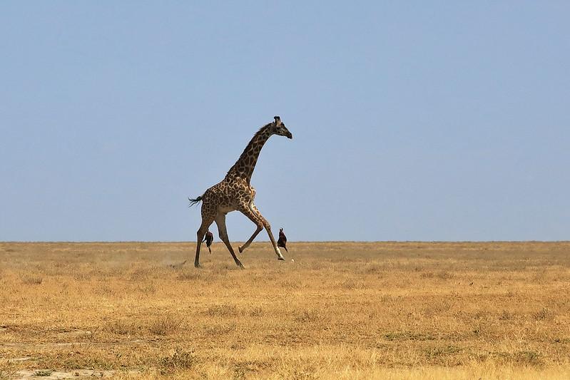 Giraffe and Maasai boys