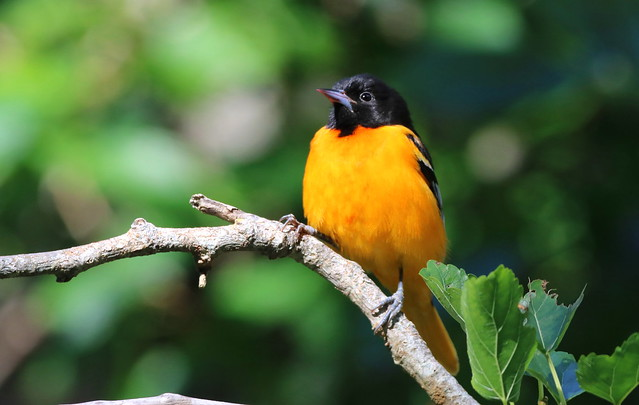 BALTIMORE ORIOLE at Fort DeSoto Park