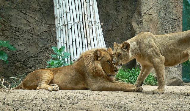 107-Loro Parque-Lions