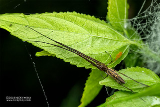 Big-jawed spider (Tetragnatha sp.) - DSC_7040