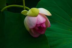 Lotus in Repose