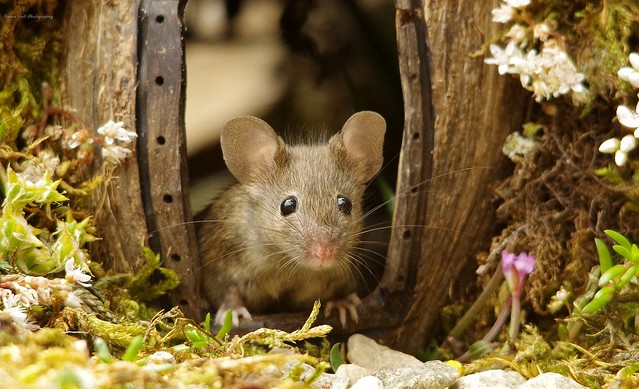 George the mouse in a log pile house (14)