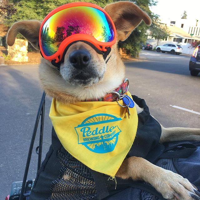 My lil road dog 🐕   # #peddlerbrewing #motodog #dogsofinstagram #dogsofpeddler #k9sportsack #rexspecs