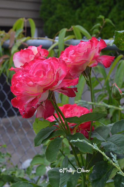 rose-double-delight