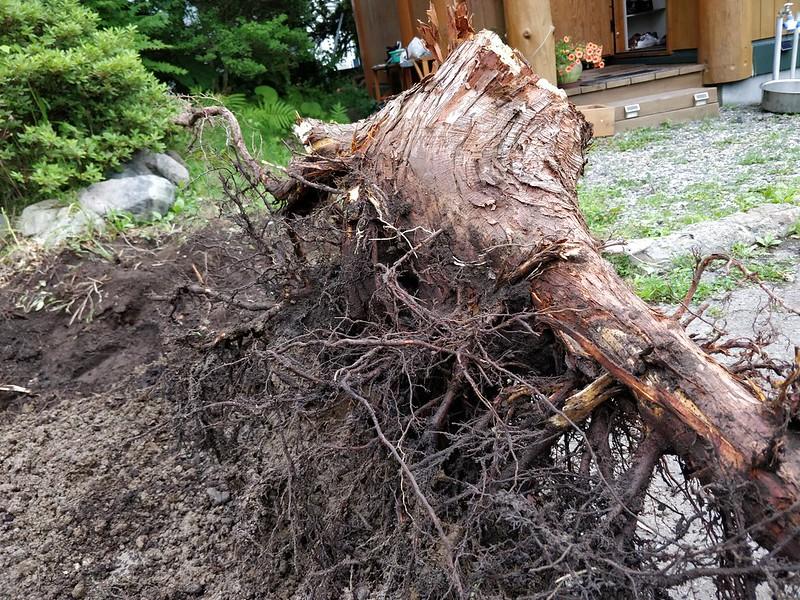 巨木の根を引き抜く (13)