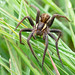 Raft Spider by Max Thompson Photography