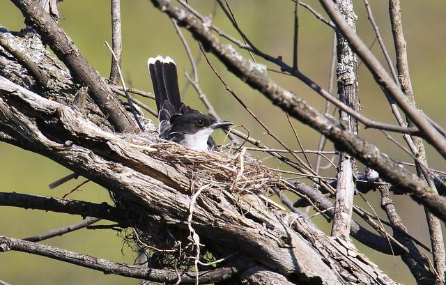 Eastern kingbird / Tyran tritri