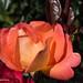 Nother Rose by jimgspokane