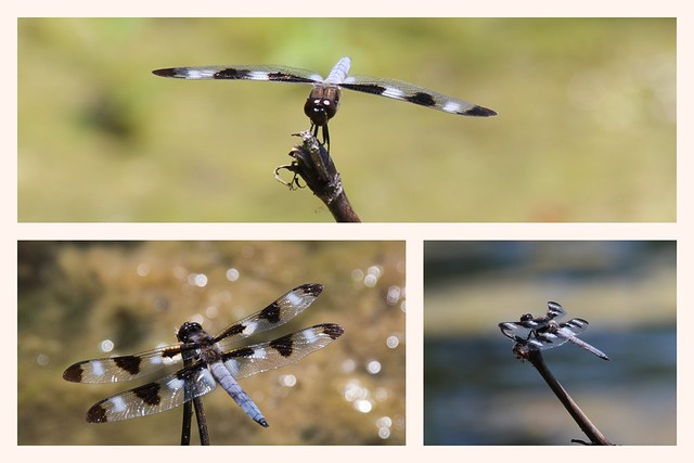 Twelve_Spotted_Skimmer_Collage_HD 2018-07-26 00_30_40
