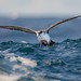 Great shearwater by JamesO'Neill