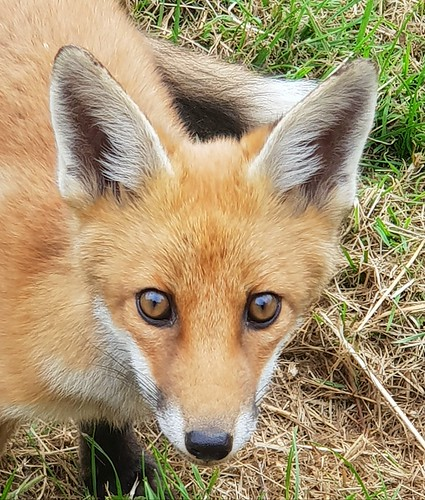 Friendly Fox.