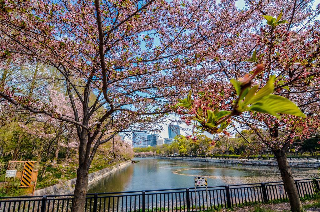 Cherry blossom Osaka river