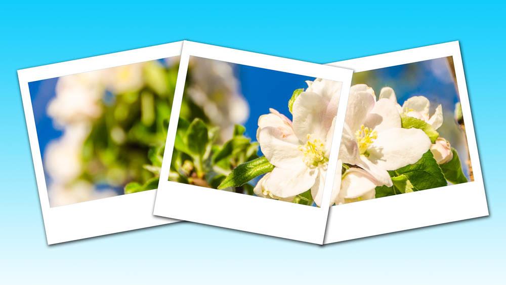 Apfelblüte_044_Trip
