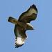 Common Buzzard-----Buteo buteo