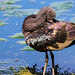 Glossy Ibis (Plegadis falcinellus) at Pre d'Enfer by Rock.Dweller