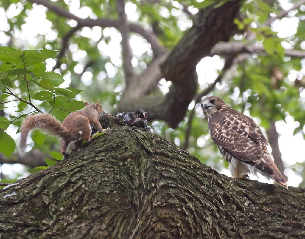 Squirrel sneaks up on young hawk