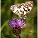 Marbled White Butterfly.