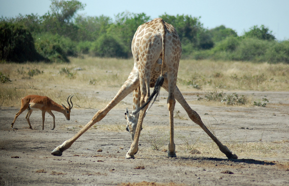 giraffe-bending-over