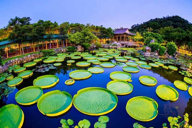 _DSC0515 / Santa Cruz waterlily / Giant Waterlily / 大王蓮花 / Taipei / Taiwan