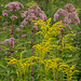 Goldenrod and Joe Pye weed #1 by billd_48