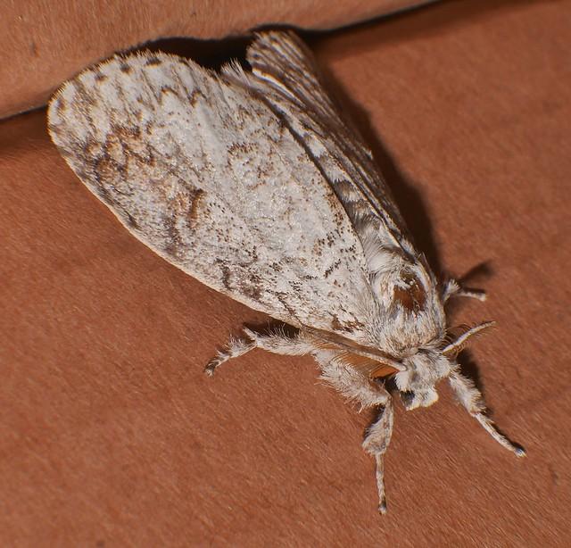 Squiggly lined pale Tussock Moth Dasychira sp Orgyiini Lymantriinae Erebidae Airlie Beach rainforest P1370205