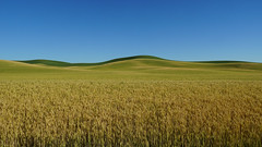 Wheat fields in eastern Washington, USA