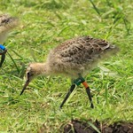 WE-GT-2018 Project Godwit chick GfO-WL(E)