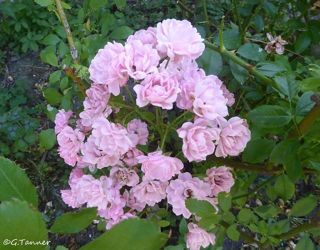 Noch mehr Rosen aus meinem Garten